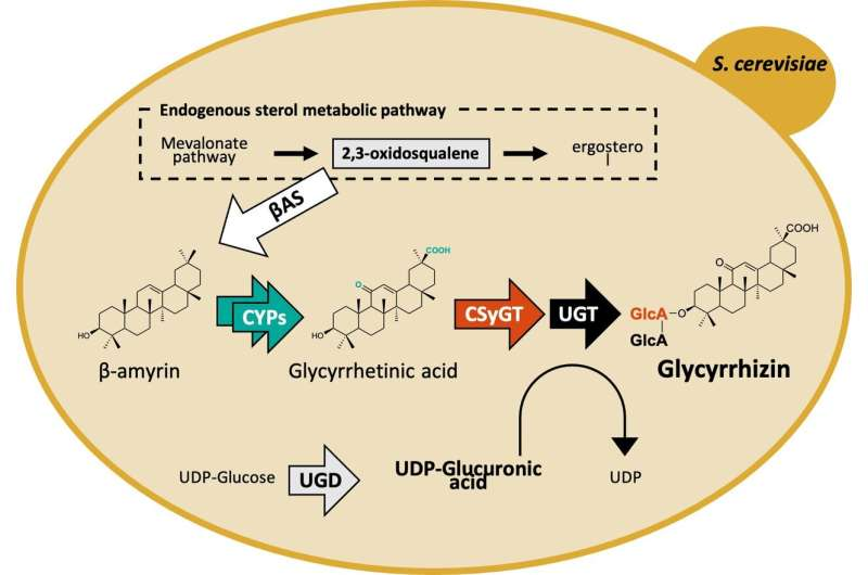 Newly discovered enzyme helps make valuable bioactive saponins