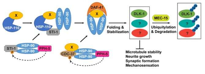 Scientists uncover new mechanism for balancing protein stability during neuronal development