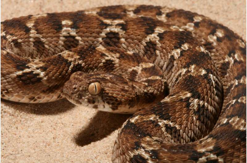 Researchers at LSTM demonstrate a novel way to treat snakebite