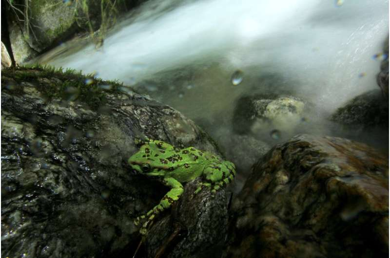 'Social distancing' saves frogs: New approach to identify individual frogs noninvasively