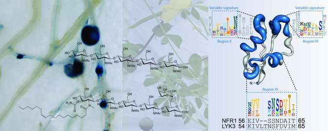 Researchers discover how plants distinguish beneficial from harmful microbes