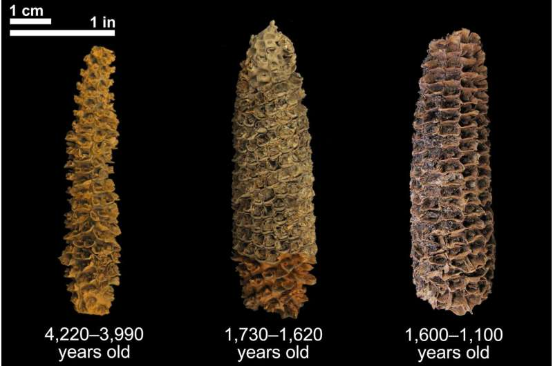 Ancient DNA continues to rewrite corn's 9,000-year society-shaping history