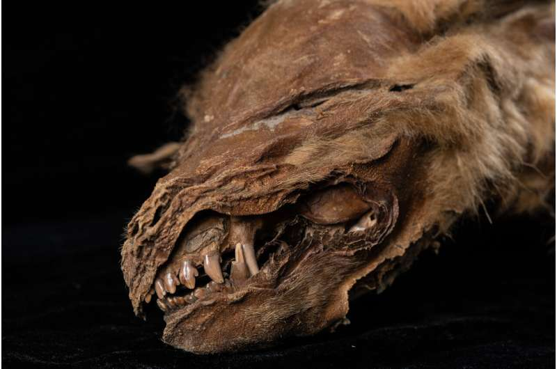 Ancient wolf pup mummy uncovered in Yukon permafrost