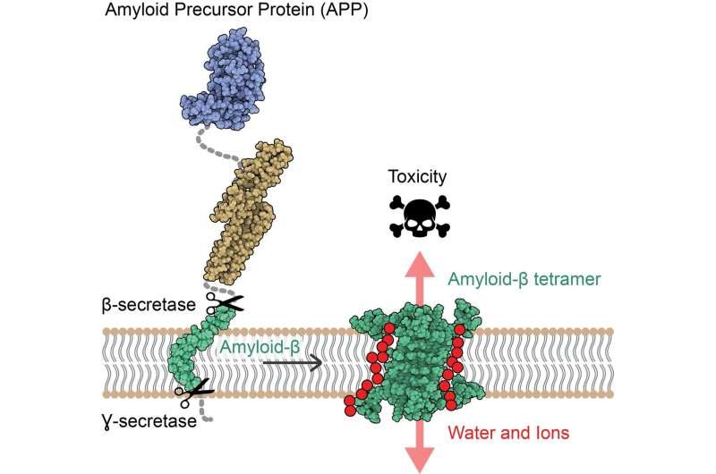 A new mechanism of toxicity in Alzheimer's disease revealed by the 3D structure of Aβ protein