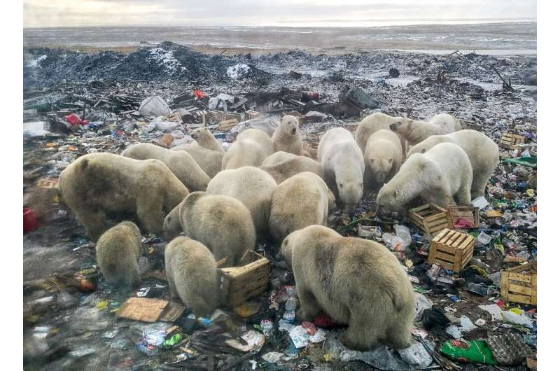 A picture taken on October 31, 2018 shows polar bears feeding at a garbage dump near the village of Belushya Guba, on the remote