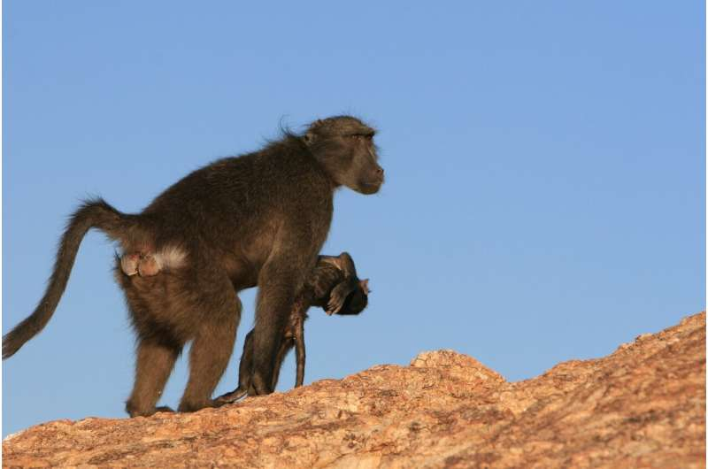 Baboon mothers carry their dead infant up to 10 days