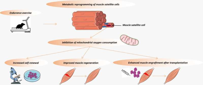 Brazilian researchers discover how muscle regenerates after exercise
