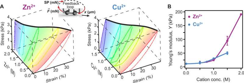 Cation-induced shape programming and morphing in protein-based hydrogels