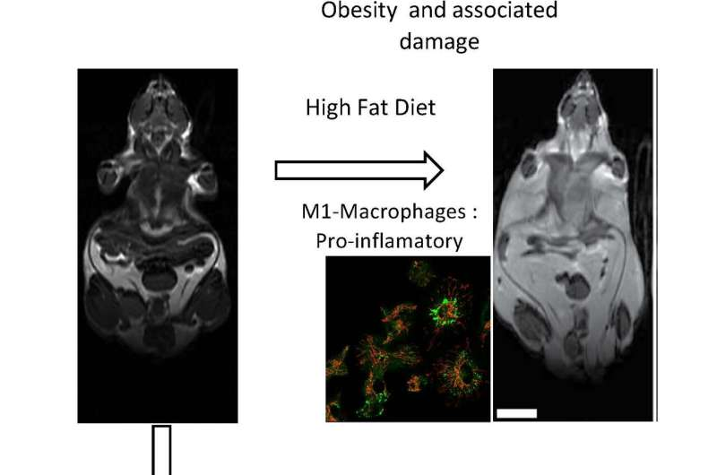 CNIC researchers discover a mechanism allowing immune cells to regulate obesity