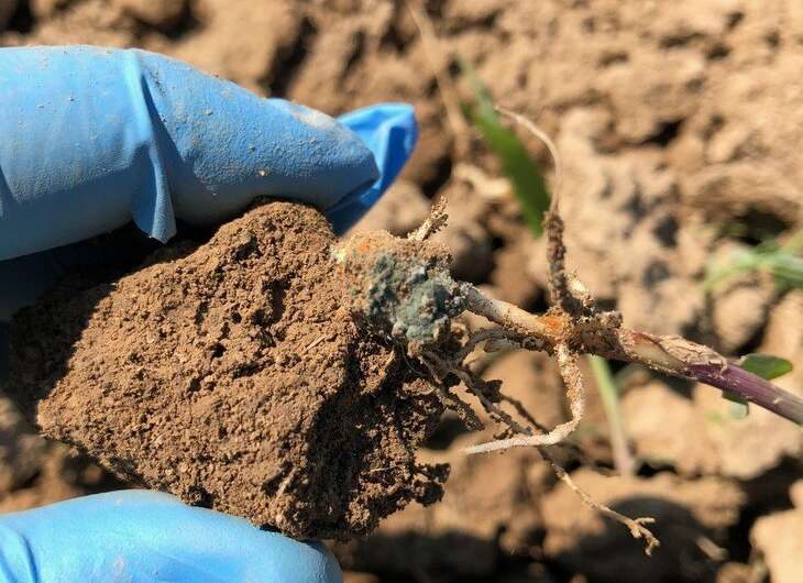Common soil fungus could be ally in organic corn growers' fight against pests