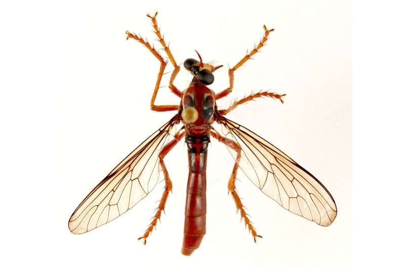 Deadpool fly among new species named by CSIRO