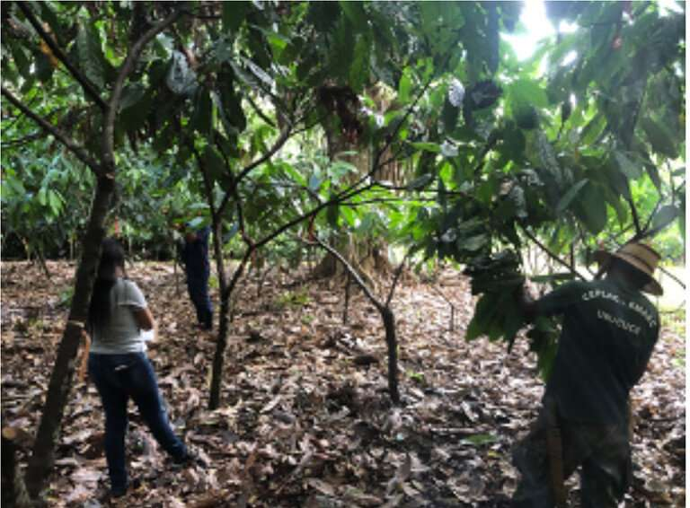 Discovery of chemical clue may lead to solving cacao's black pod rot mystery