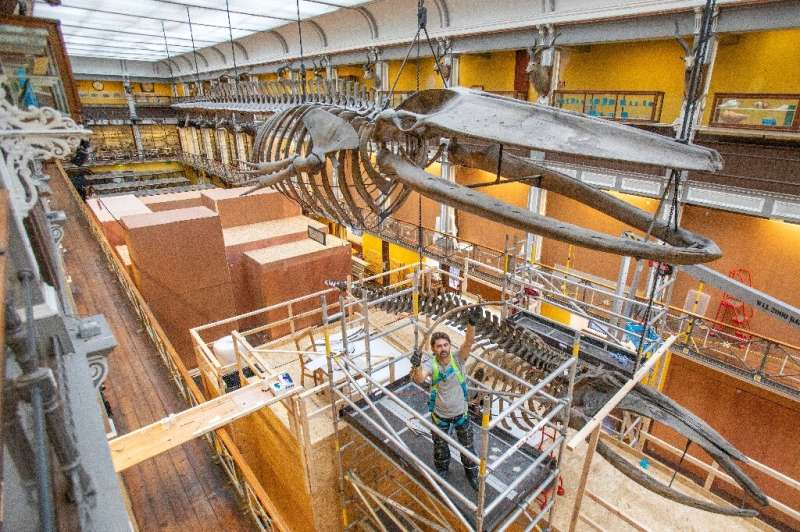 Dismantling two hanging whale skeletons for renovation work is no small feat