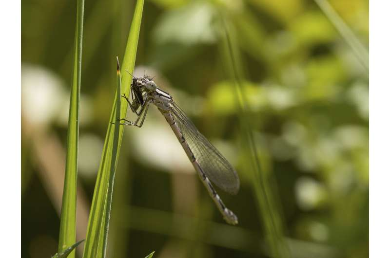 Dragonflies Are Efficient Predators that Consume Hundreds of Thousands of Insects in a Small Area