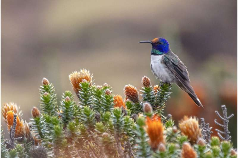 Ecuadorian hummingbirds chirp ultrasonic songs of seduction