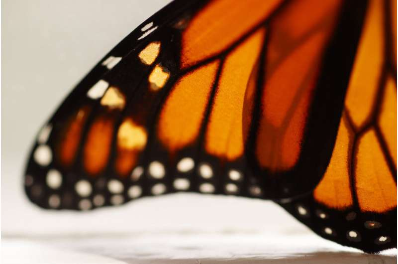 Endangered-species decision expected on beloved butterfly
