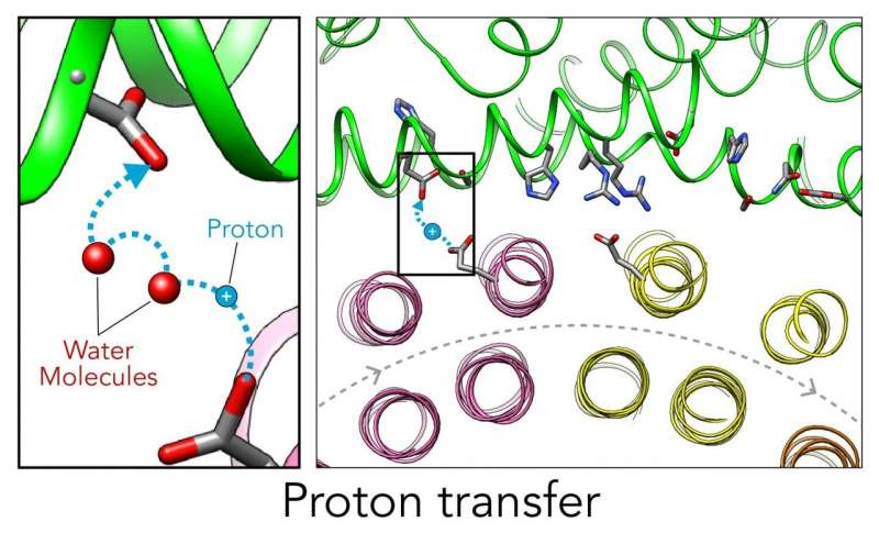 First detailed look at how molecular Ferris wheel delivers protons to cellular factories