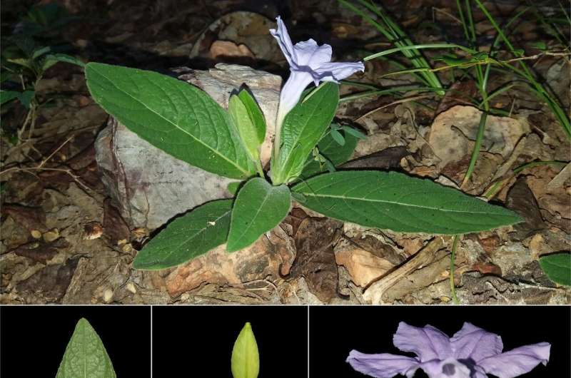 First record of long-lost Ruellia bella reported in Myanmar