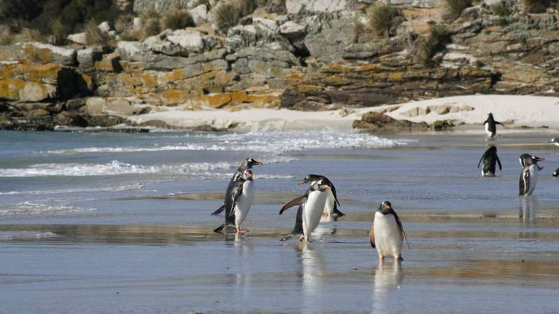 Gentoo penguins are four species, not one, say scientists