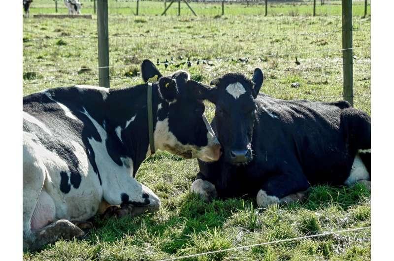 Grooming behavior between dairy cows reveals complex social network