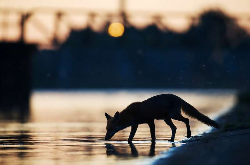 Handout photo from Wild Wonders of Europe shows an urban fox (Vulpes vulpes) drinking water in the sunset in an industrial part