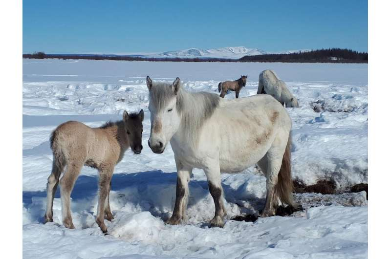 How horses can save the permafrost