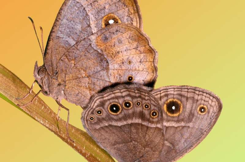 How some butterflies developed the ability to change their eyespot size