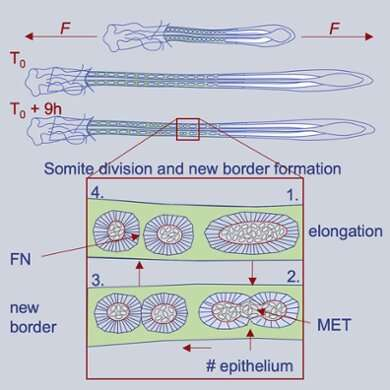 Mathematical model helps to explain the formation of spine and ribs