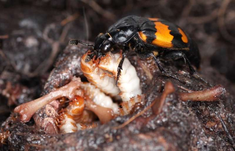 Older beetle parents 'less flexible'