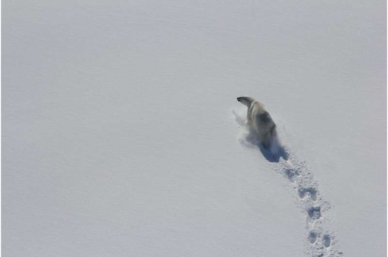 Polar bears in Baffin Bay skinnier, having fewer cubs due to less sea ice