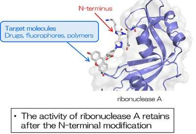 Simple N-terminal modification of proteins