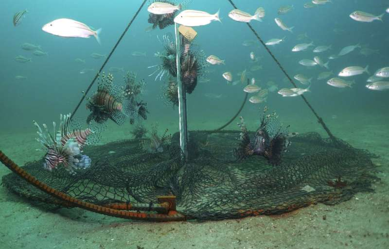 Testing traps to control lovely but destructive lionfish
