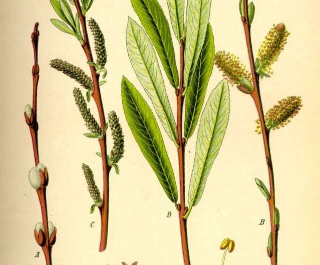 The Surprising Structure of a Shrub Willow Sex Chromosome