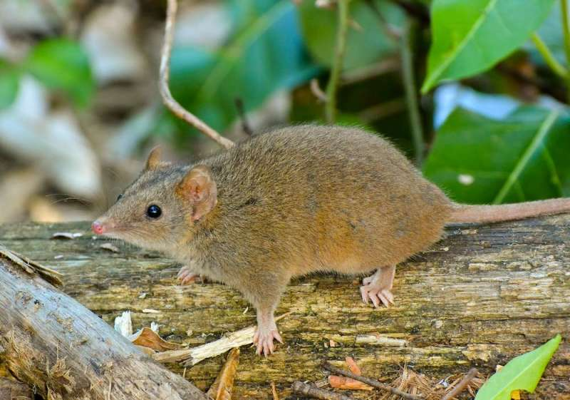 Torpor: a neat survival trick once thought rare in Australian animals is actually widespread
