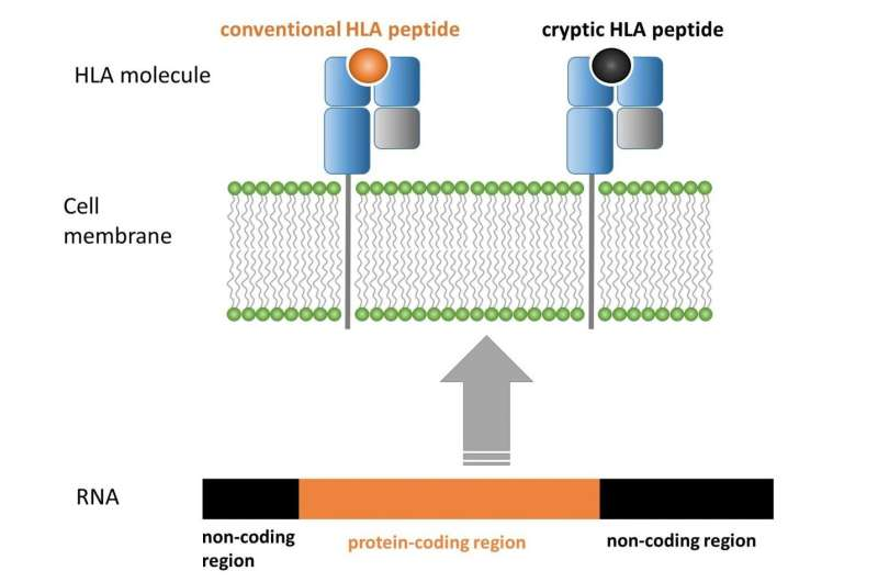 Tracking down cryptic peptides