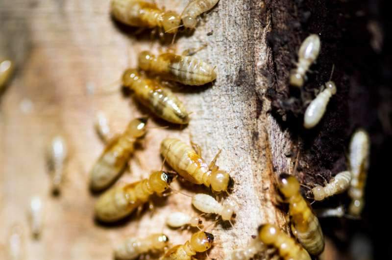 What can ants and termites teach us about fighting disease?