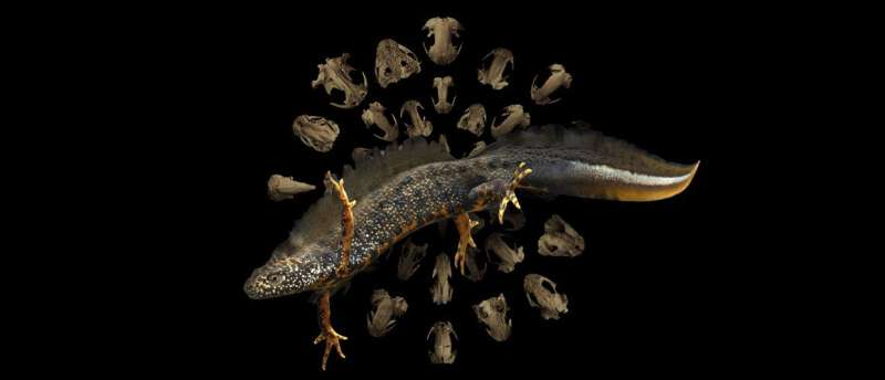 New study reveals how metamorphosis has shaped the evolution of salamanders