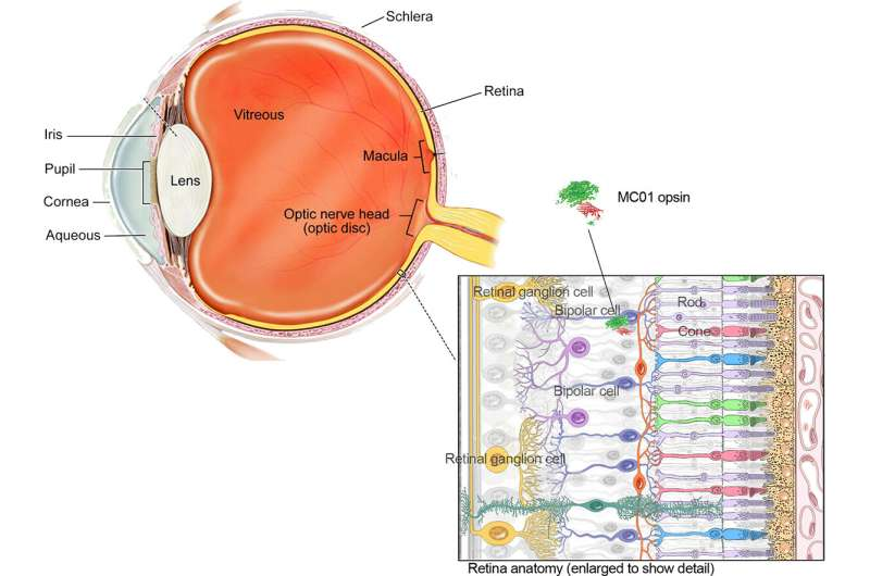 Scientists use gene therapy and a novel light-sensing protein to restore vision in mice
