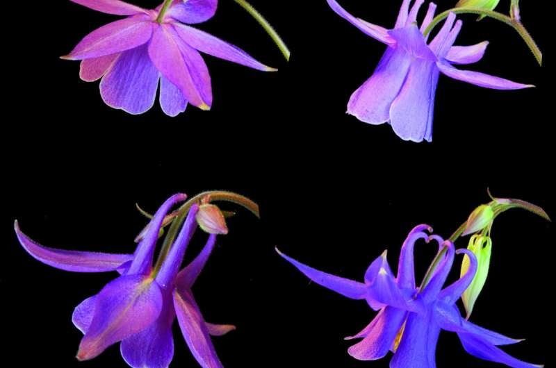 Researchers discover gene controlling nectar spur development