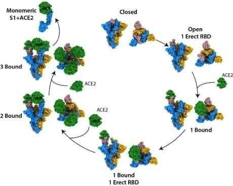 Scientists uncover the structural mechanism of coronavirus receptor bindingType:  News 17 September 2020