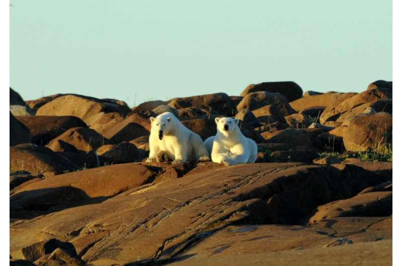 Climate change threatens relationship between polar bears and ringed seals