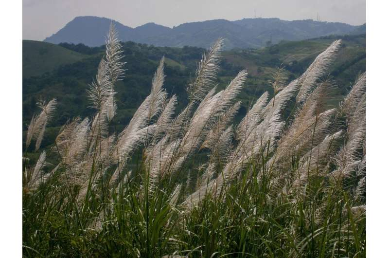 Scientists uncover the mysterious origin of canal grass in Panama