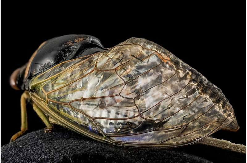 Study reveals unique physical, chemical properties of cicada wings