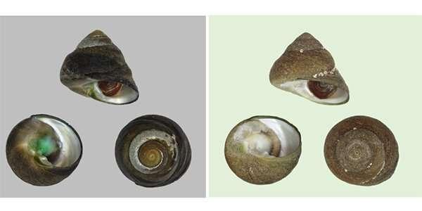 New species of edible marine snail