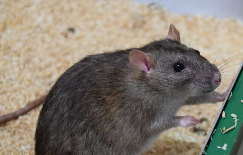 Research team finds effect of odour on helpfulness in rats