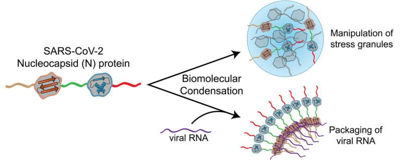 Researchers identify a protein that may help SARS-CoV-2 spread rapidly through cells