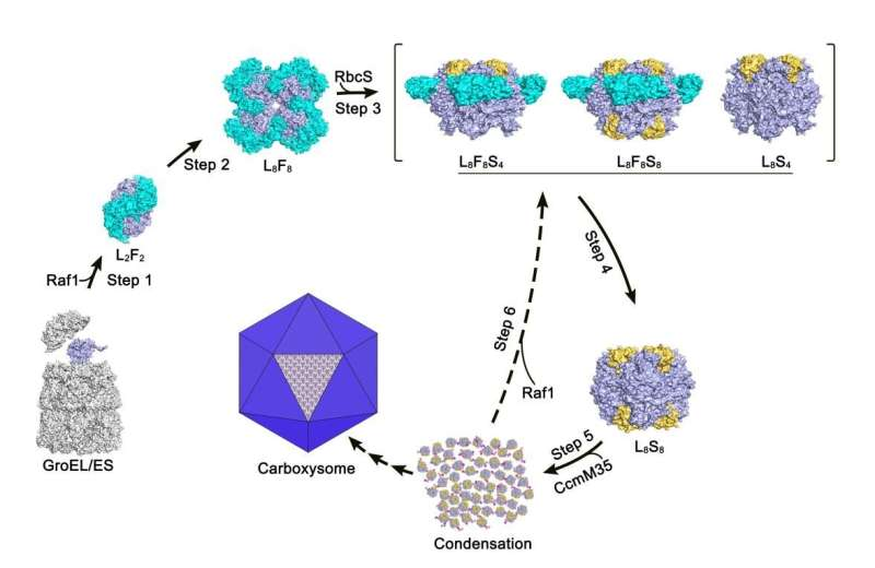 Researchers reveal molecular basis for assembly of RuBisCO assisted by chaperone Raf1