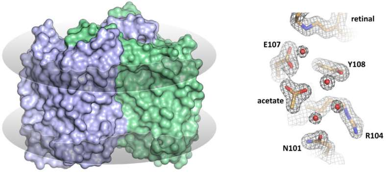 Researchers solve structure of 'inverted' rhodopsin
