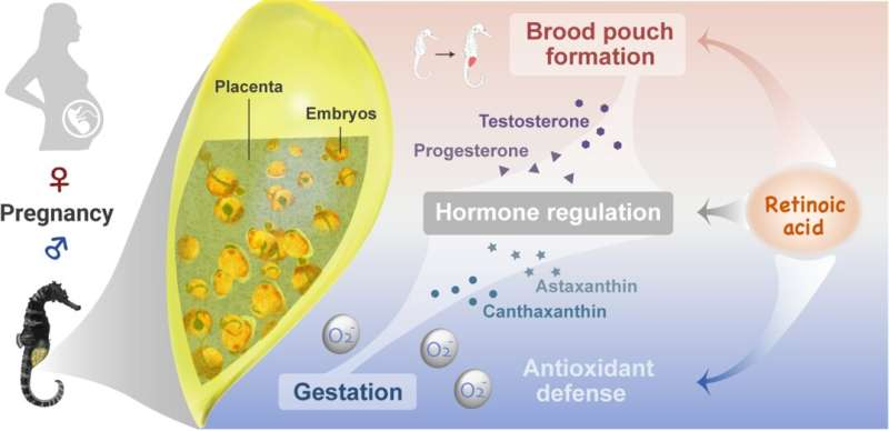 Study reveals how retinoic acid regulates brood pouch formation and pregnancy of male seahorses