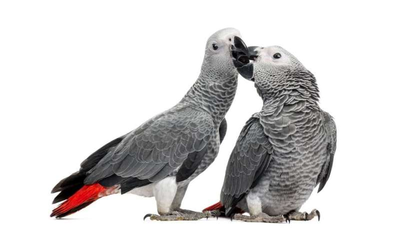 African grey parrots help each other in times of need